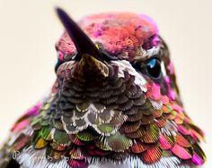 Male Anna's Hummingbird #11 by Thy Bun, via Flickr