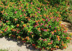 Lantana - low lying colorful shrub.