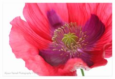 Poppy by Alyson Fennell on 500px