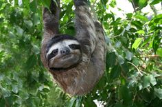 The maned sloth (Bradypus torquatus), also known as the ai , is a three-toed sloth that lives only in Brazil. Description from imgarcade.com. I searched for this on bing.com/images