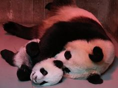 """It seems like only yesterday (more specifically, last October) that ZooBorns was announcing the birth of two tiny Giant Panda cubs at Madrid Zoo. Today """"Pambassador"""" Jeroen Jacobs sent us new photos of the troublemaking duo and it appears they. Little Panda, Panda Love, Cute Panda, Red Panda, Animals And Pets, Baby Animals, Cute Animals, Wild Animals, Baby Panda Bears"""