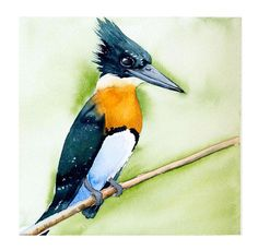 Check out this item in my Etsy shop https://www.etsy.com/listing/541698291/kingfisher-bird-watercolor-print