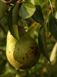 gruszka / pear