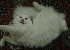 kaymaktaş çok sevimli bir kedidir. cat yazayım da yabancılar da görüp beğensin bu fotoğrafı. cat, kitten, hehhuhöh
