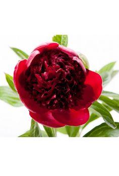 De 449 beste bildene for elegant flowers on white background p beautiful red flower burgundy red peoney mightylinksfo