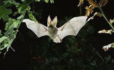 Pesquisadores na Austrália, descobriram que os morcegos podem um dia ajudar as pessoas a descobrir os segredos da imunidade e longevidade.
