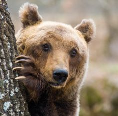 Italy - Lazio - Marsican brown bear (Orso bruno Marsicano) from Abruzzo, Lazio and Molise National Park by www.storieabruzzesi.it
