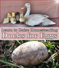 Learn to Raise Homesteading Ducks for Eggs Homesteading  - The Homestead Survival .Com