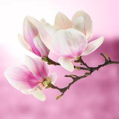 001 Pin van Greetje Lubbersen op Magnolia Bloemen, Natuur