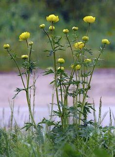 Globeflower, Trollius europaeus --Kullero
