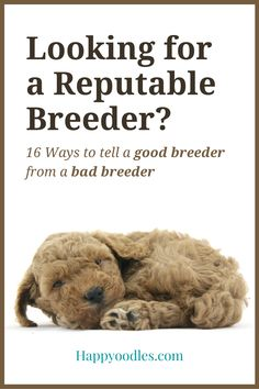 Are you looking for a new puppy? If you're getting your puppy from a breeder it's important that you find a reputable breeder. Join us as we show you 16 ways to tell a good breeder from a bad one. Plus 11 questions you should ask the breeder before you decide on one. Not sure where to find a reputable breeder? We also have tips on how to find one. (#dogbreeder, #puppybreeder, #howtofindadogbreeder, #howtofindareputabledogbreeder, #howtochooseadogbreeder, #questionstoaskkadogbreeder) Puppies Tips, Best Puppies, Puppy Socialization, Living With Dogs, Choosing A Dog, Dog Jokes, Buy A Dog, Cute Dog Photos, Animal Antics