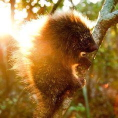 Ouriço-cacheiro Amarelo.  www.facebook.com/ultimosrefugios #animal #nature #greatnature  #animals #wildlife #brazil #brasil