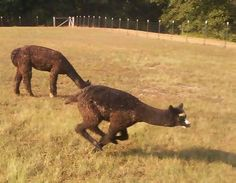 "this is ""pronking"" when the cria are so happy that they just start be bopping through the meadow!"