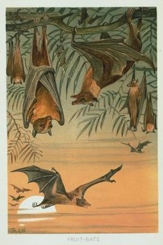 Fruit Bats. From New York Public Library Digital Collections.