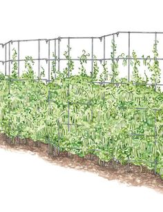 Pea fence...this worked great in my raised bed last year..after the peas were harvested I pulled the plants out and planted pole beans !