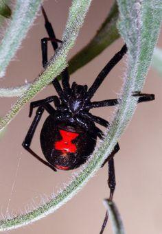 Viuda negra=black widow spider=the widow maker ha