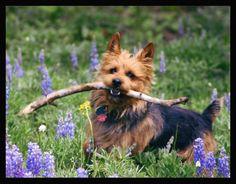 The Australian Terrier Club of America