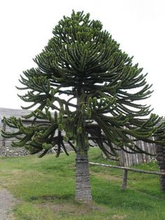 Somehow, someway, I'll have you in my garden. I love you, monkey puzzle tree. I fell in love with you in England, and I SHALL have you in America, someday.