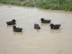 My Cayuga duckling taking there first swim.