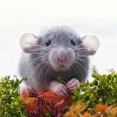 Rats are astoundingly sociable and loving pets. They need and enjoy interaction and look forward to time spent with you. Funny Animal Memes, Funny Animals, Cute Animals, Funny Rats, Rata Dumbo, Animals And Pets, Baby Animals, Strange Animals, Cute Rats