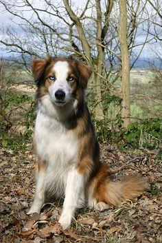 Welsh Sheepdog: Rum