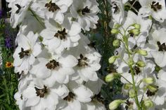 Delphinium elatum Black Eyed Angel    Display Gardens of Continuous Bloom at Plant Paradise Country Gardens