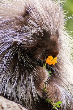 Porcupine smelling flowers