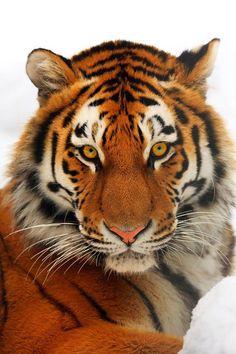 Solo quedan 500 tigres libres en el mundo