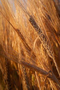 Harvest wheat