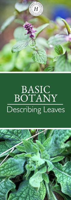Learn about basic botany terms for leaves. This will not only help you to correctly identify plants in the wild, but it will help you when creating a materia medica or teaching an herb walk as well!