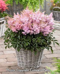 ASTILBE 'Sugarberry'® - Dwarf variety with soft pink blooms, compact foliage. HEIGHT 10″.