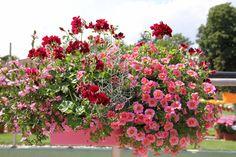 Scaevola Abanico Pink   Calocephalus Silver Bush   Pelargomium Grandeur® Ivy Velvet   Calibrachoa Calita® Salmon Morn   Pelargonium Aristo Black Beauty