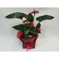 Kamo Florist - Anthurium Plant