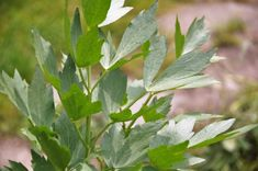 Lovage, Levisiticum officinalis - Terra Mater Gardens seeds and mushroom spores Wilderness Survival, Survival Prepping, Homestead Survival, Bushcraft Skills, Edible Wild Plants, Perennial Vegetables, Wild Edibles, Replant, Garden Seeds