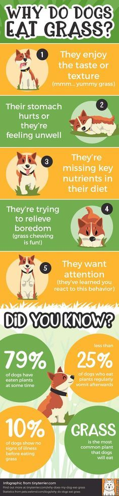An Infographic On Why Dogs Eat Grass And Statistics About Dogs Eating Grass Do You Know Why Dogs Eat Grass Find Ou Dogs Eating Grass Dog Eating Dog Nutrition