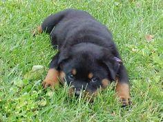 Rottweiler: cuccioli, carattere, allevamenti, prezzo e tante storie Rottweiler puppies, nature, farming, price and many stories...... Se il Rottweiler è aggressivo, la colpa è sua? If the Rottweiler is aggressive, the fault is yours?