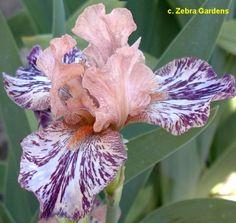Iris Flowers, Exotic Flowers, Amazing Flowers, Purple Flowers, Planting Flowers, Beautiful Flowers, Iris Garden, Garden Art, Garden Plants