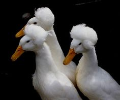 The White Crested Duck is pure white with orange feet and bills. Their appearance is much the same as the Pekin except for their large crest of feathers on the top of their head. Farm Animals, Funny Animals, Cute Animals, Duck Breeds, Duck And Ducklings, Unusual Animals, Unusual Pets, Animal Heads, Funny Babies