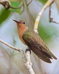 Buffy Hummingbird (Leucippus fallax) Perched on a limb in Los Flamencos Natural Park