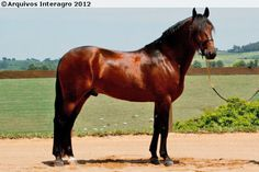 Lusitano - stallion Cyrano Interagro