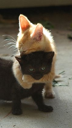 Amour de chats 🧡🧡🧡 chats calin – Chats et chatons- chaton mignon -… I Love Cats, Crazy Cats, Cute Cats, Funny Cats, Cat Fun, Cute Baby Animals, Animals And Pets, Funny Animals, Funniest Animals