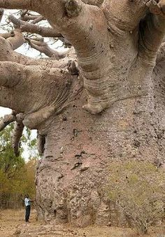 "This is a Baobab tree. Can store an enormous amount of water. What's funny are the comments on http://imgur.com/gallery/o3wLu ""But it sits over the richest deposit of unobtanium on the planet. Obviously we have to blow it up and start strip-mining"" & ""Yeah, your mom used the ""retaining water"" excuse, too"" etc"