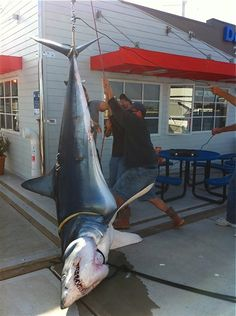 Giant mako shark, too big for the scale, landed off Southern California
