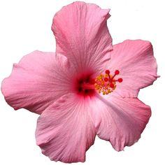 OahuRE - Hawaii Flowers ❤ liked on Polyvore featuring home, home decor, flowers, fillers, flower fillers, pink fillers, pink, backgrounds and pink home decor