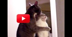 These Brothers Are Truly Bonded For Life! | The Animal Rescue Site Blog - Max and Moe have always gotten along just fine. But every now and then, something like this happens, AND IT'S BEYOND WORDS. Luckily, their human was nearby to capture it on video and we get to witness all their love and affection. So sweet! - http://blog.theanimalrescuesite.com/brotherlovecats/