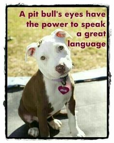 Pitbulls deserve the same love one would give a Yorkie or a Labrador. Love a pitbull and it will love you back. Beautiful Dogs, Animals Beautiful, Cute Animals, Amazing Dogs, Animals Dog, Cute Puppies, Cute Dogs, Dogs And Puppies, Doggies