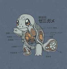Squirtle Anatomy