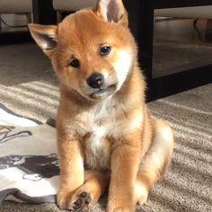 Brain Training For Dogs - Adrienne Farricelli's Online Dog Trainer Shiba Puppy, Akita Dog, Cute Puppies, Cute Dogs, Dogs And Puppies, Cute Baby Animals, Funny Animals, Newborn Puppies, Training Your Dog