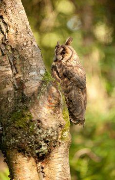 Long-eared owl in the woods by steven whitehead