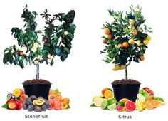 """""""Fruit Salad"""" trees with six varieties per tree now sold in AU"""" Fruit Salad Tree, Natural Vitamins, Portion Control, Quick Meals, The Fresh, Home Improvement, Planter Pots, Presents, Trees"""